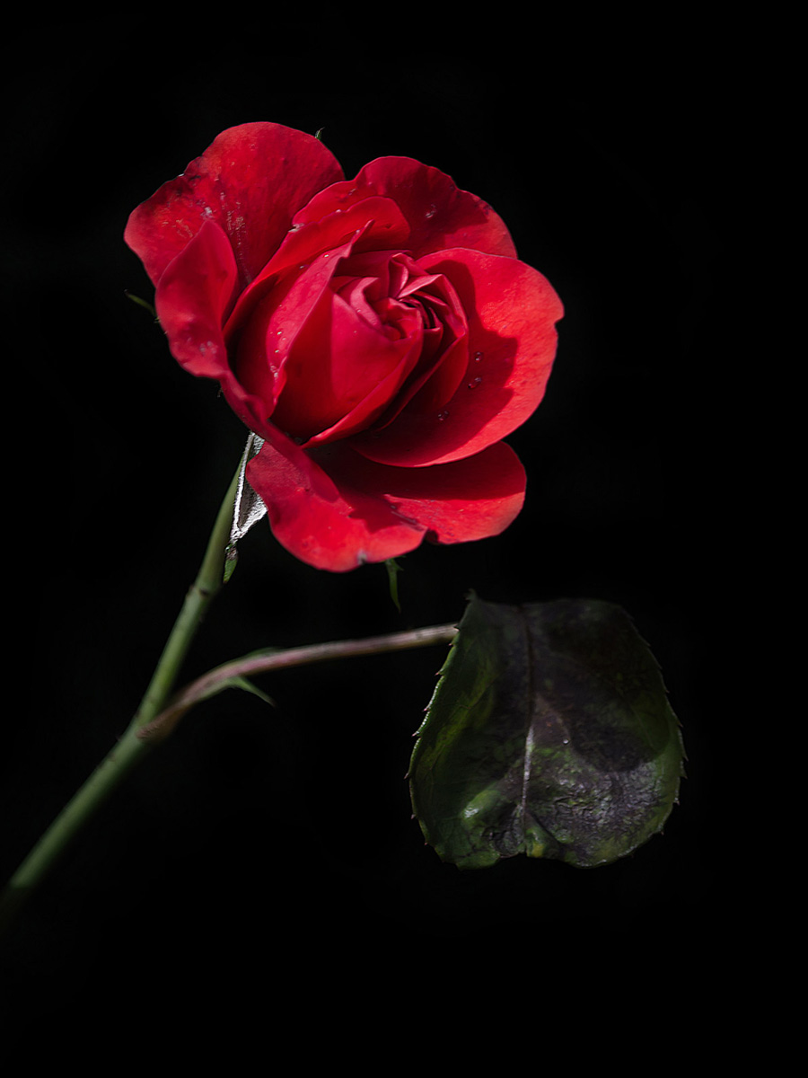 old-red-rose.jpg
