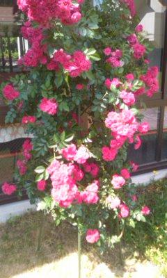 居宅の薔薇