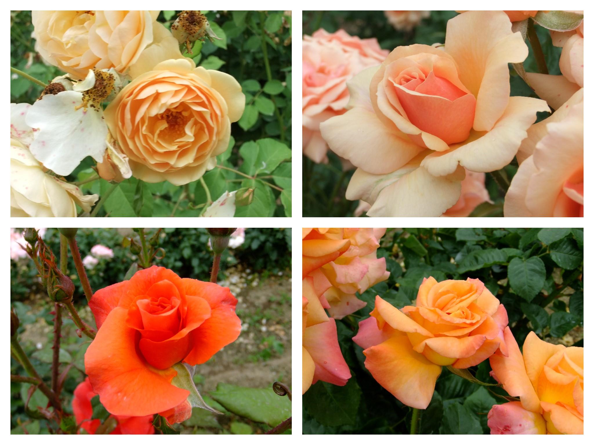 薔薇オレンジ
