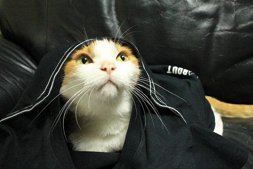 ブログNo.749(猫のTシャツを着せたら潰れた)7