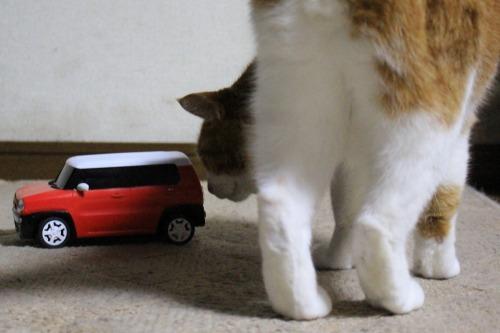 ブログNo.585(初めて動く物を見た時の猫の反応)8