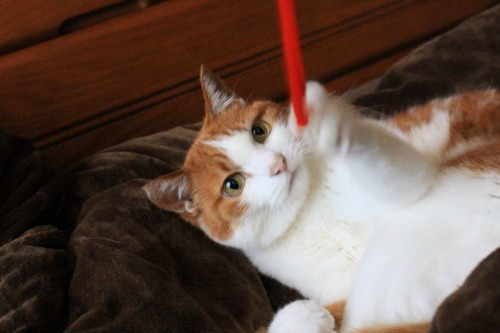 ブログNo.587(上半身だけで遊ぶ猫)7