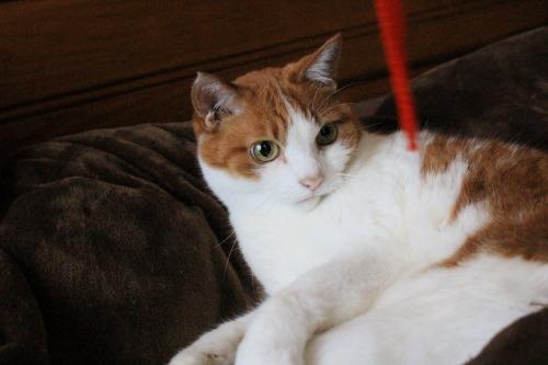 ブログNo.587(上半身だけで遊ぶ猫)16