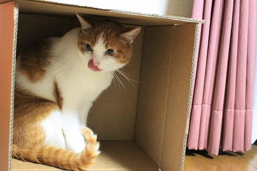 ブログNo.627【短編】猫様はやっぱり段ボール箱がお好き♪3