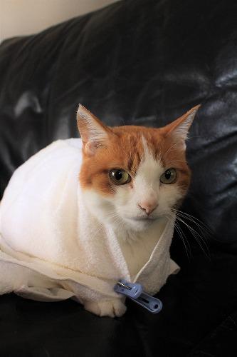 ブログNo.634映画「世界から猫が消えたなら」のキャベツ巻き。4