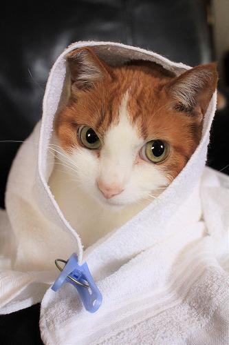 ブログNo.634映画「世界から猫が消えたなら」のキャベツ巻き。6