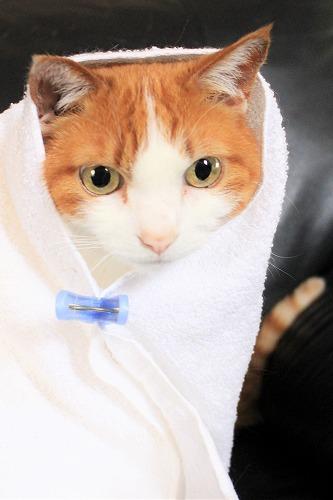 ブログNo.634映画「世界から猫が消えたなら」のキャベツ巻き。7
