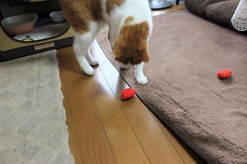 ブログNo.724(金魚のお手玉、あれあれ~?)8