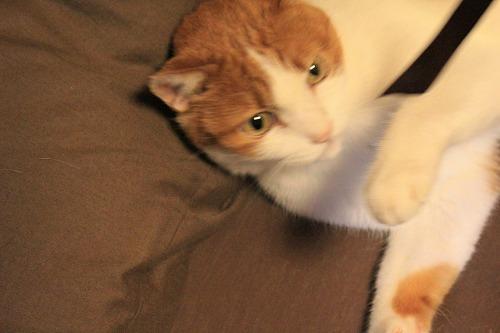 ブログNo.735(寝転がったまま遊ぶ猫)11