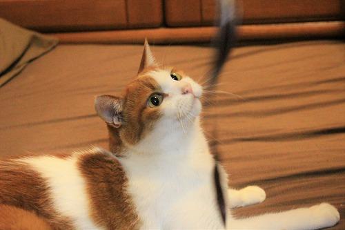 ブログNo.735(寝転がったまま遊ぶ猫)14