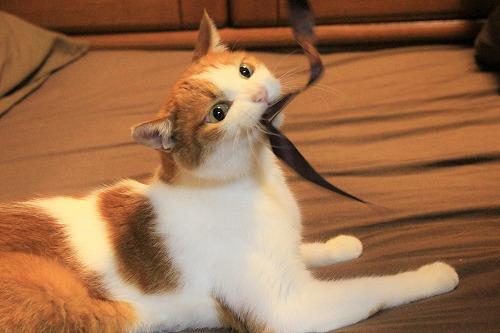 ブログNo.735(寝転がったまま遊ぶ猫)15