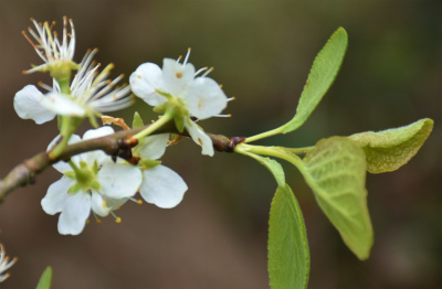 kerspruim (Prunus cerasifera) bij grens03-2