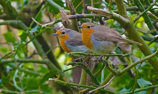 Robin is voted as nummber one for the UKs national bird klein