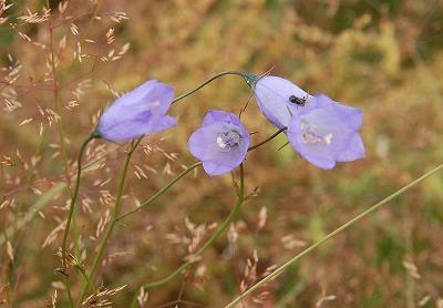 Grasklokje (Campanula rotundifolia) 05-7