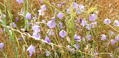 Grasklokje (Campanula rotundifolia) 05-9
