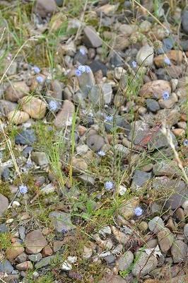 Zandblauwtje (Jasione montana) Campanulaceae 05-3