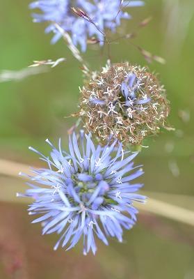 Zandblauwtje (Jasione montana) Campanulaceae 05-2