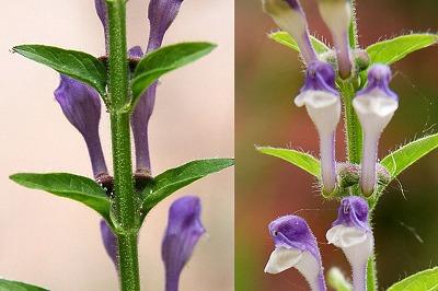 Scutellaria galericulata Blauw glidkruid corrage 04 jpeg