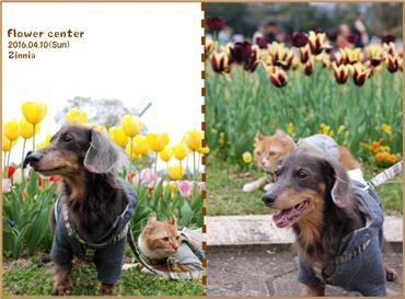 季節の花「チューリップ」を見に③