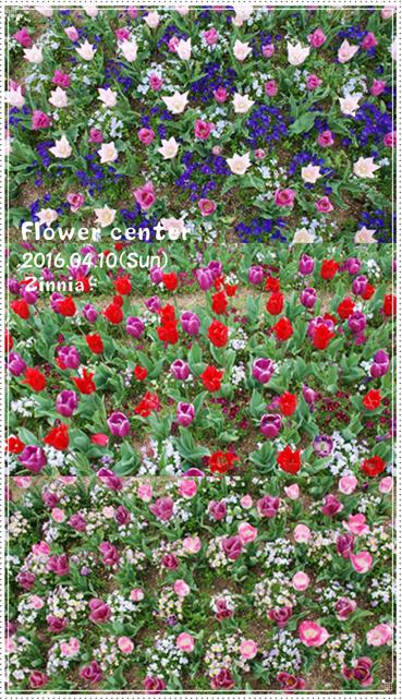 季節の花「チューリップ」を見に④