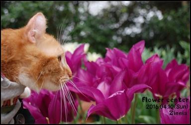 季節の花「チューリップ」を見に⑥