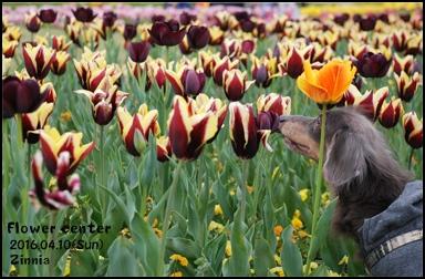 季節の花「チューリップ」を見に⑤