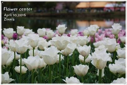 季節の花「チューリップ」を見に Part2①
