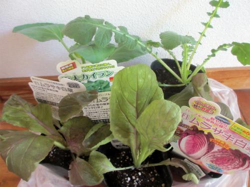 紫白菜 桜島大根 極太カイラン