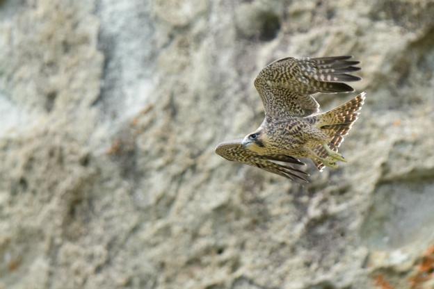 ハヤブサ 幼鳥