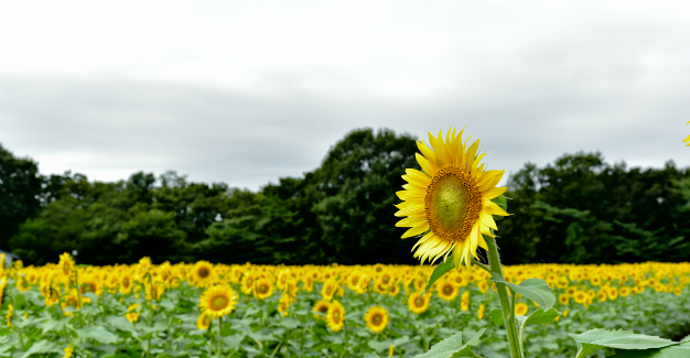 サンフラワー・向日葵