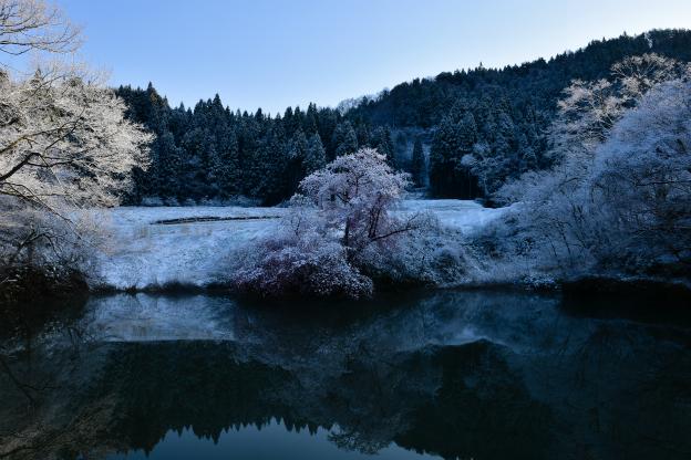 鏡桜(オオヤマザクラ)