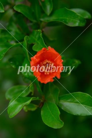 4438089 ザクロの花