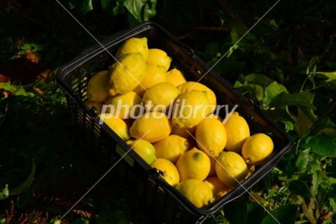 4648328 レモン収穫