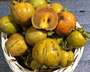 実家の柿を収穫