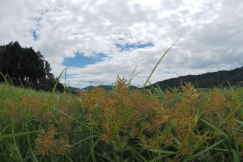 kayaturigusa_028-m.jpg