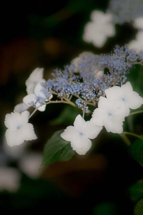 アゼクラの紫陽花