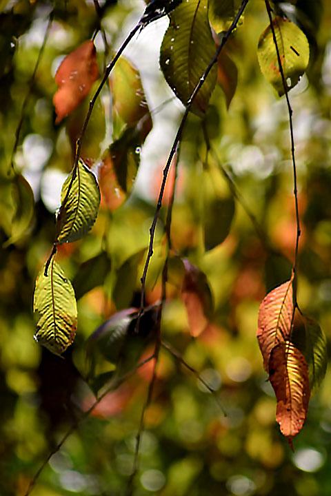 しだれの葉