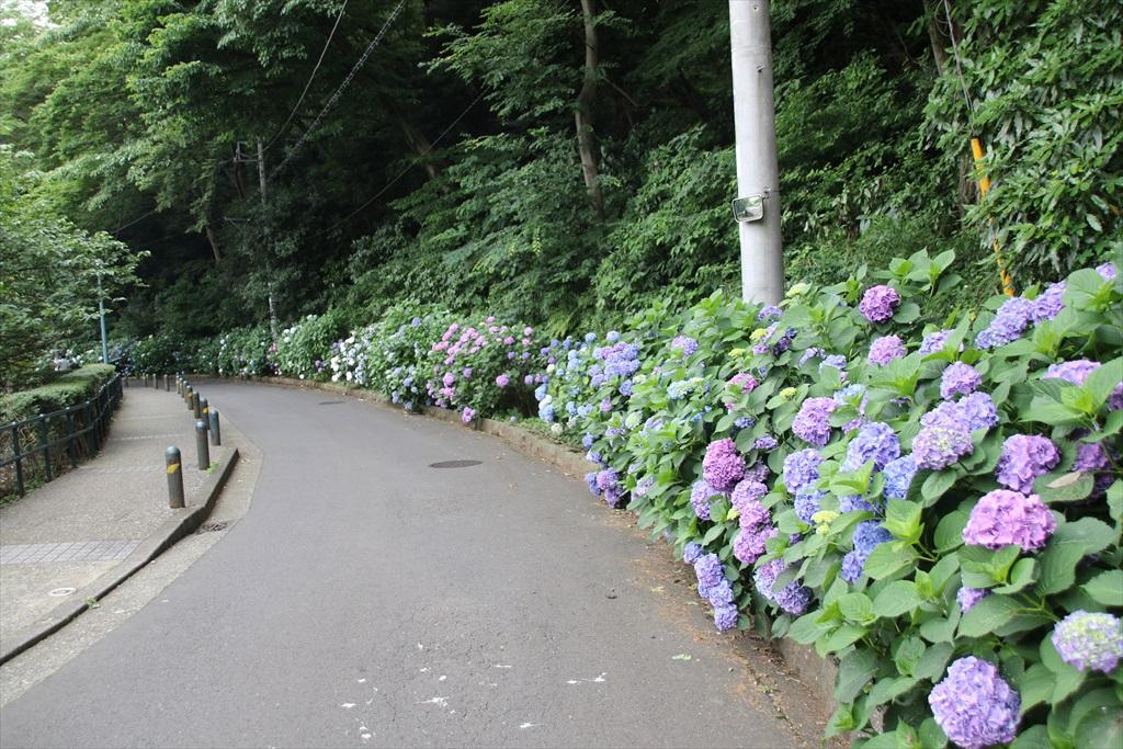 道筋には紫陽花が_1
