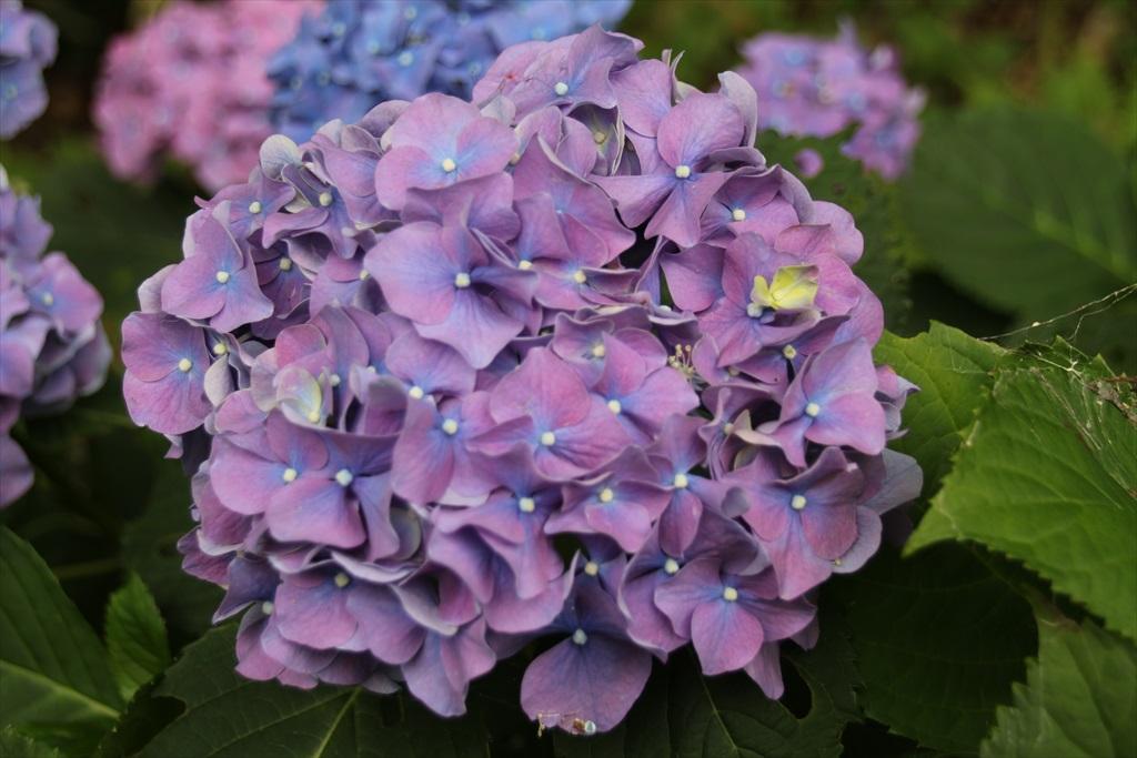 道筋には紫陽花が_4