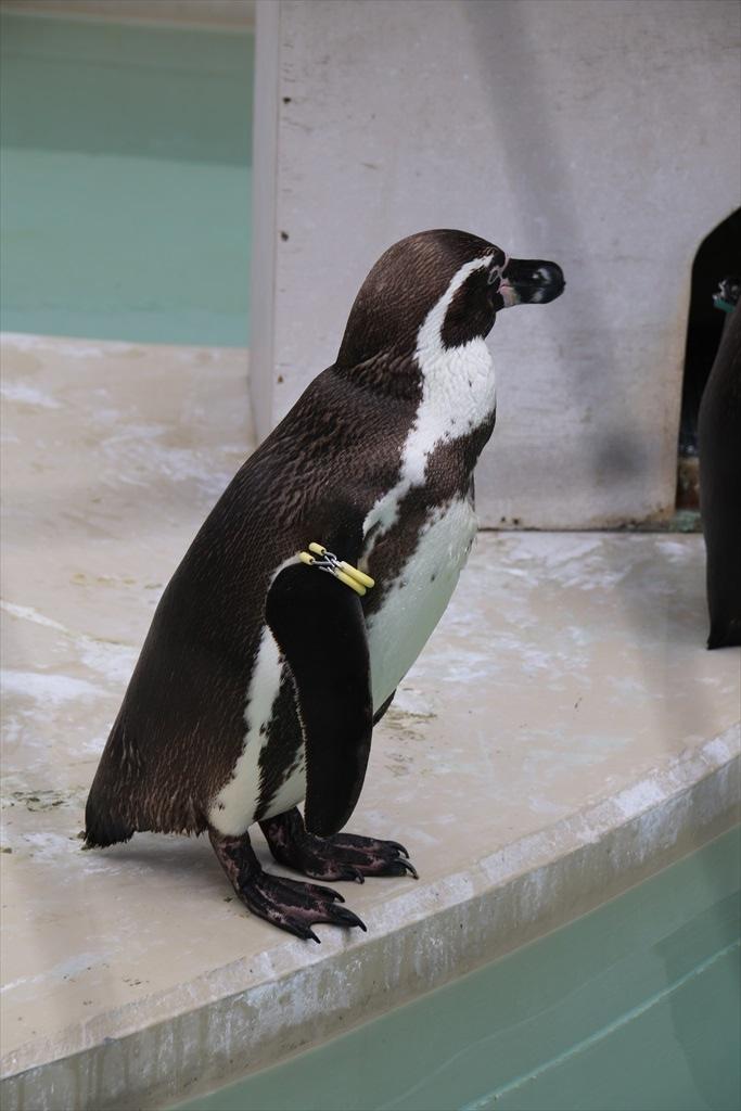 フンボルトペンギン_2