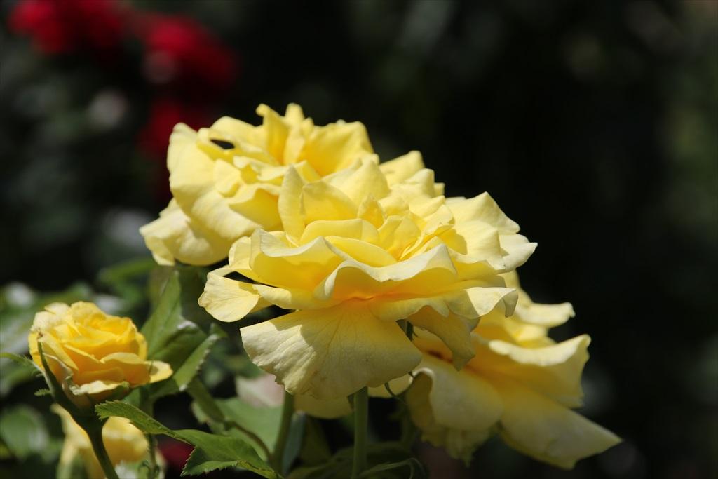 バラ園も彩りを添えている_5