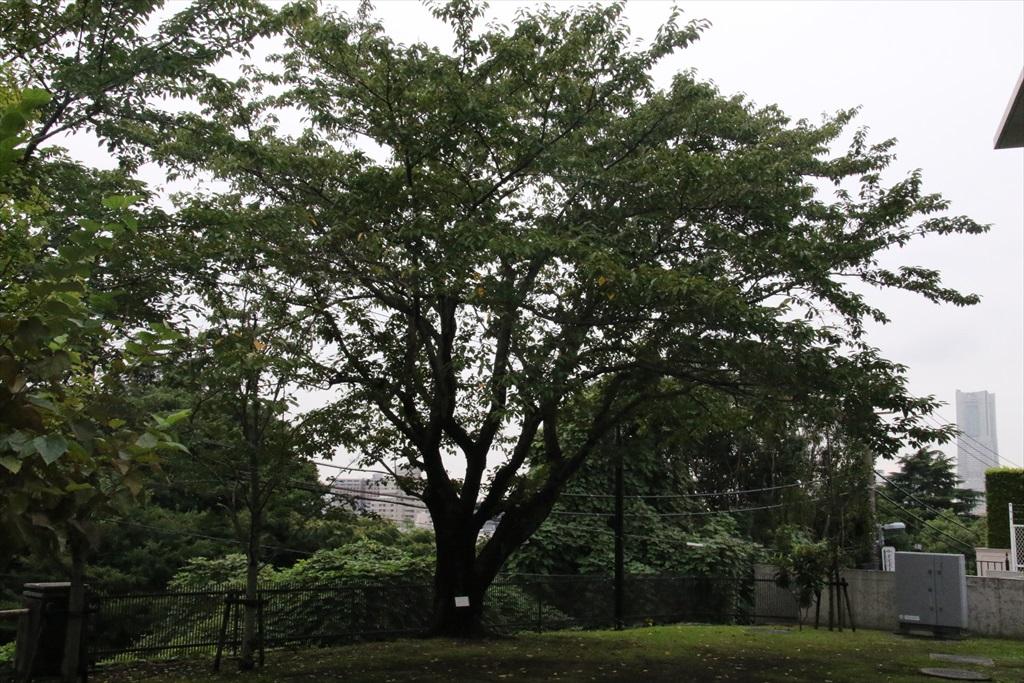 ソメイヨシノの標本木