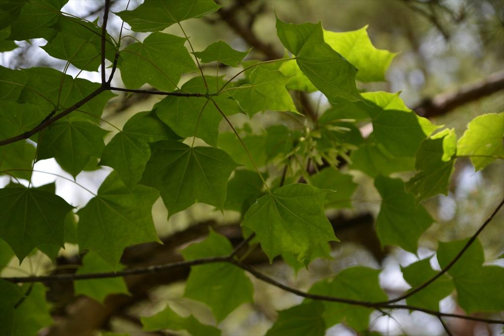 楓など_1