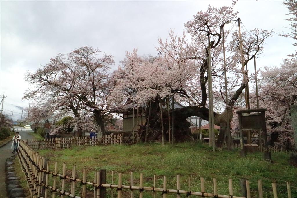 神代桜_3