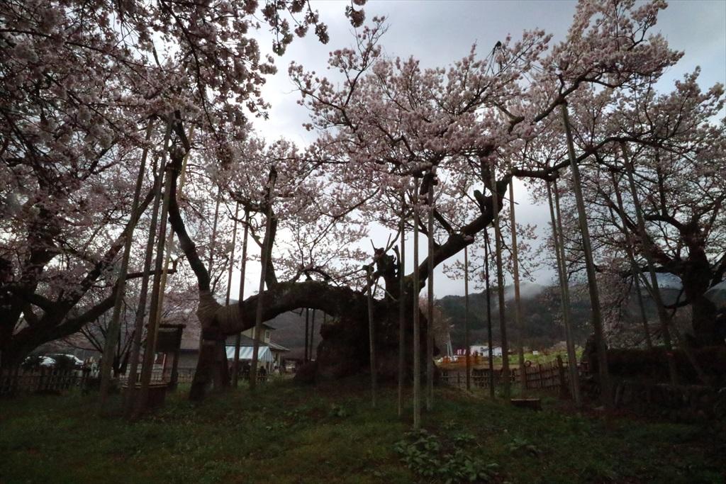 神代桜_8
