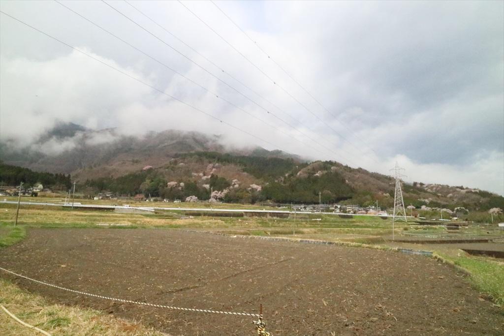 付近の山桜_2