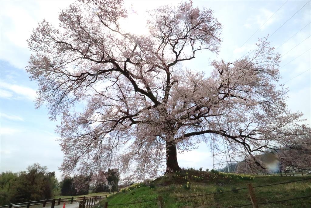 わに塚の桜_12