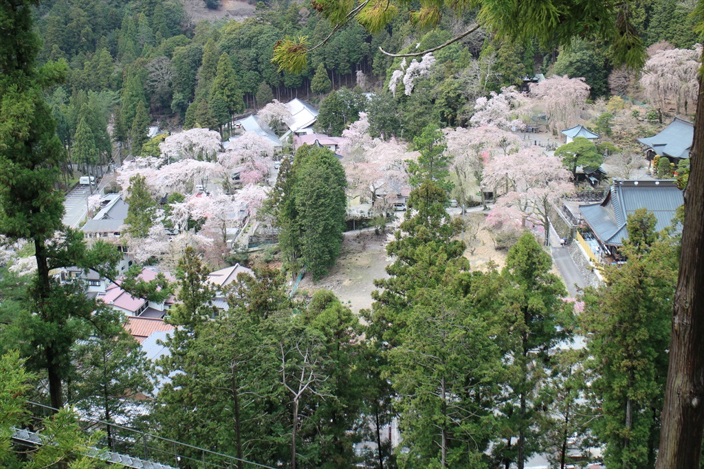 下界の桜_1