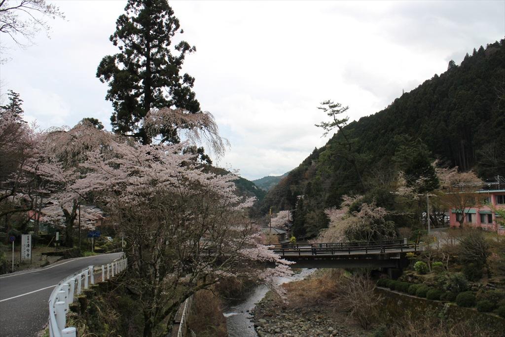 下界の桜_3