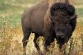 1266214767-bison-526805-wp8z-480x320-MM-100.jpg